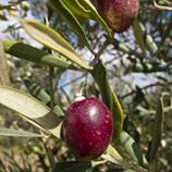 Gardening: Growing Olives